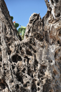 old_olivetree_bark